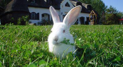 Nyuszi ül a fűben